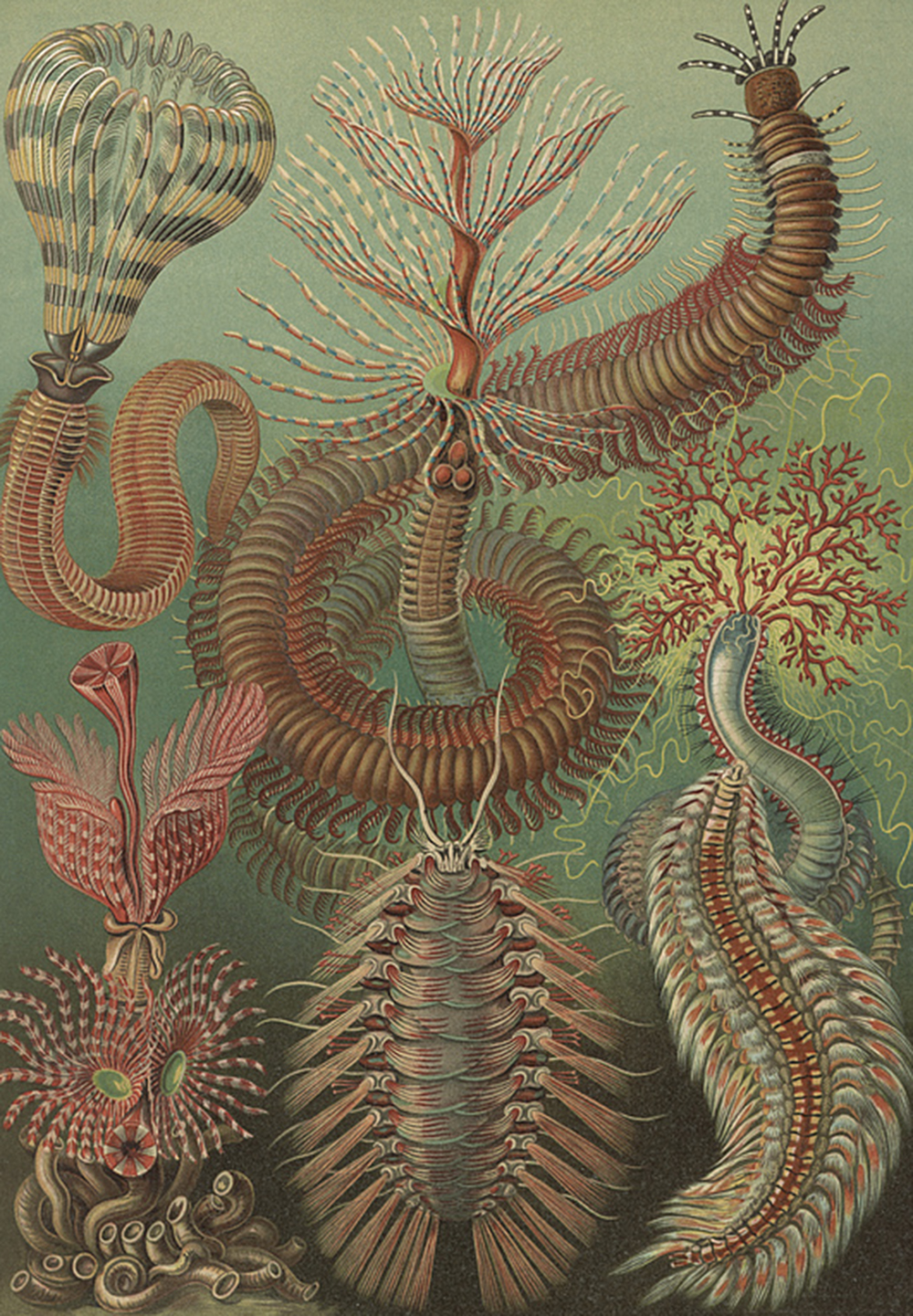 """Chaetopoda,"" by Adolf Giltsch after sketch by Ernst Haeckel, c. 1904. Library of Congress, Prints and Photographs Division."