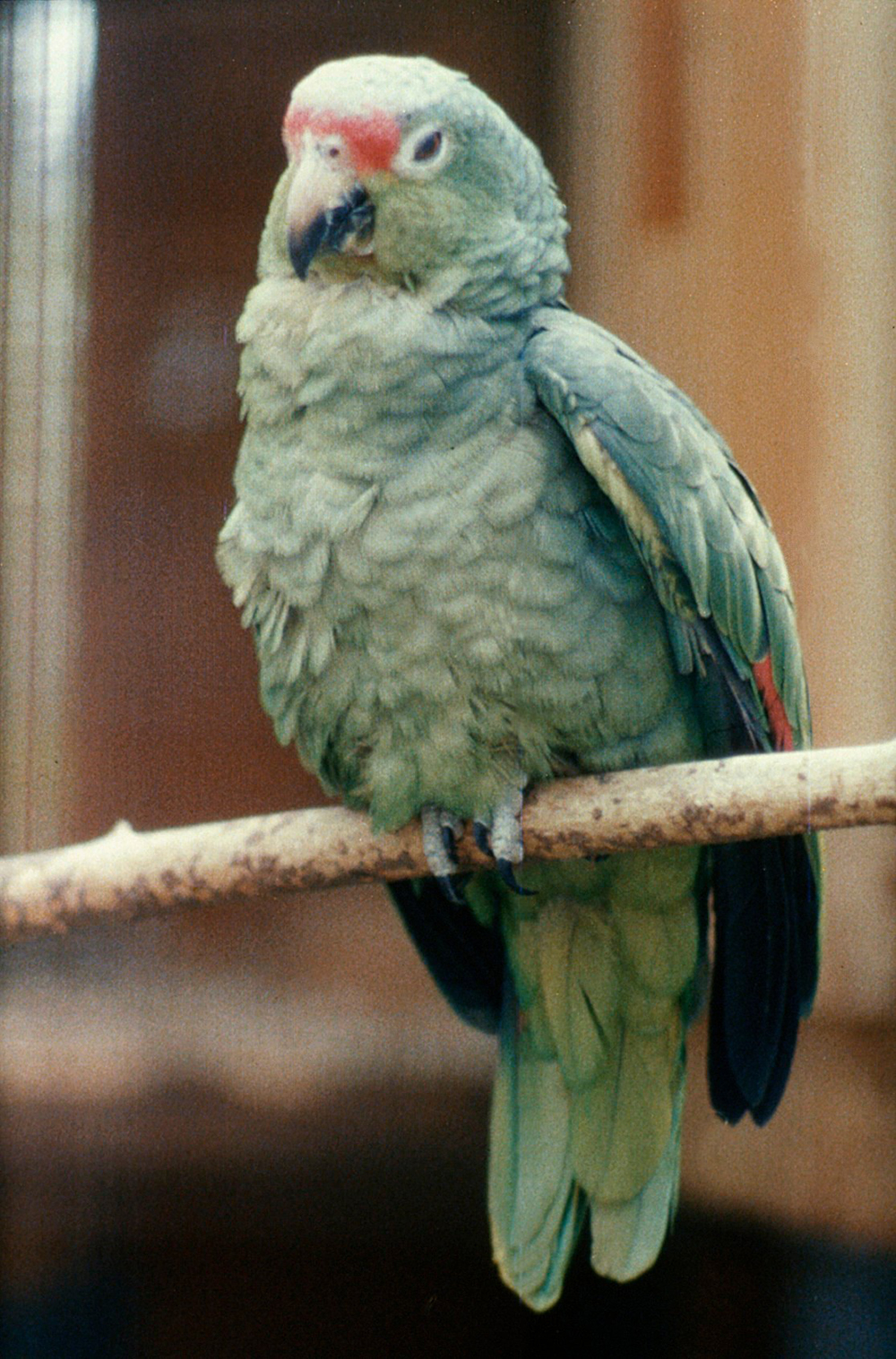 Amazon parrot with psittacosis. Royal Veterinary College (CC BY-NC 4.0).