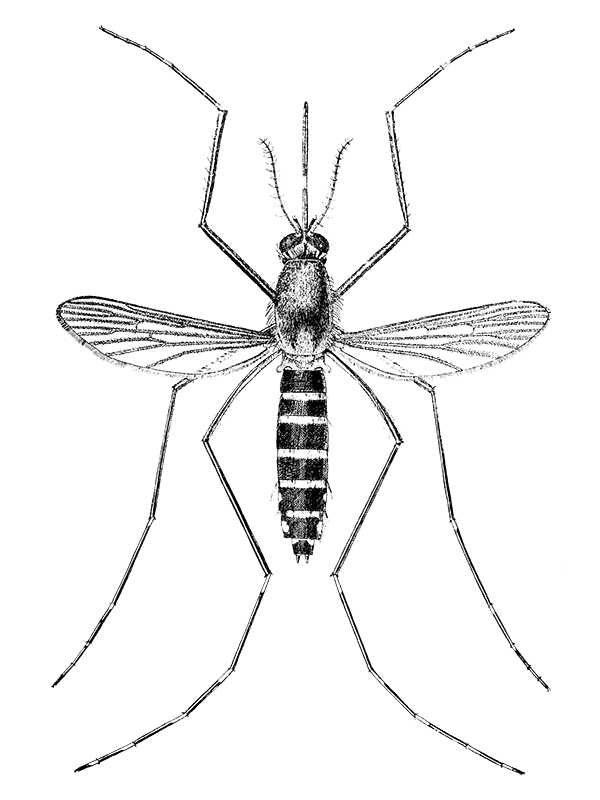 a drawing of a mosquito