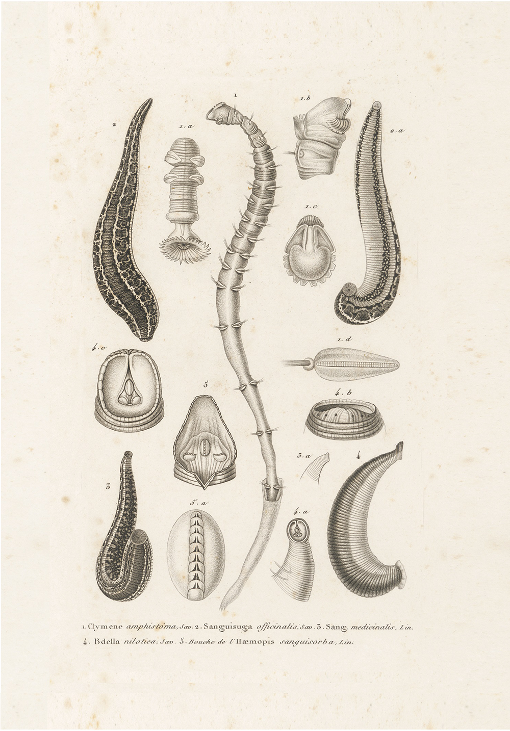 "Anatomy of a leech. King's College London/Science Source. From ""Quackery."""