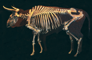 An auroch skeleton