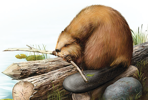 Drawing of a giant beaver