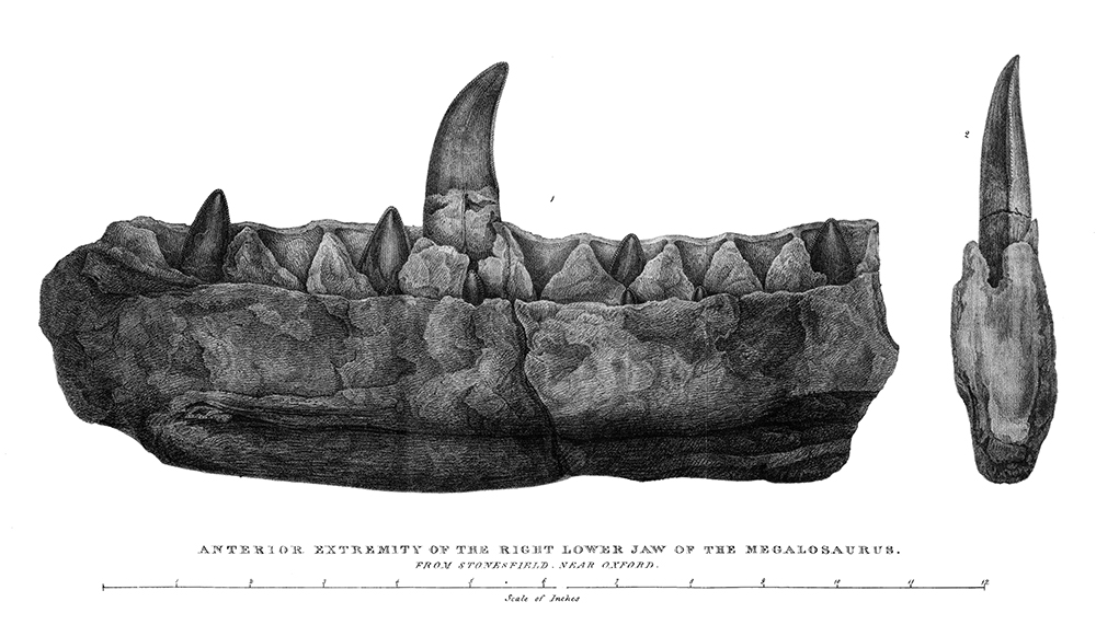 Engraving of the jaw of Megalosaurus bucklandii, 1824. Wikimedia Commons.