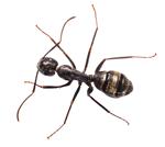 a carpenter ant.