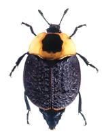 a carrion beetle.