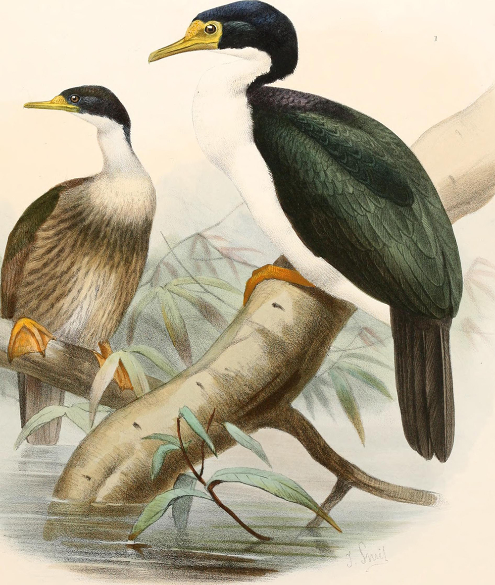 Color illustration of two birds from page 542 of Report on the Scientific Results of the Voyage of H.M.S. Challenger During the Years 1873–76, 1881. Flickr, Internet Archive.