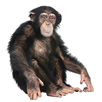 A chimpanzee sitting down with its arms lifted alongside its legs