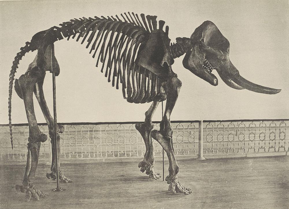 The Cohoes Mastodon, c. 1872. © Rijksmuseum.