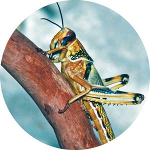A desert locust.