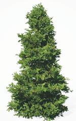 a douglas fir tree.
