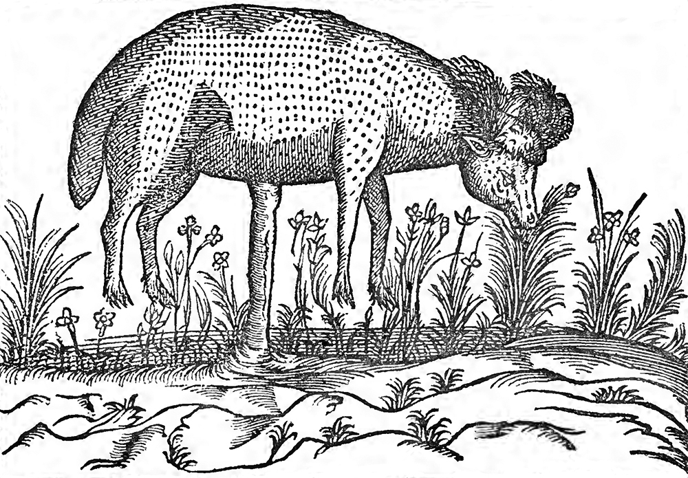 """B&W """"Portrait of the 'Barometz,' or 'Scythian Lamb,'"""" after Claude Duret, Histoire Admirable des Plantes, 1605, from The Vegetable Lamb of Tartary, by Henry Lee, 1887. The Internet Archive, University of Toronto."""