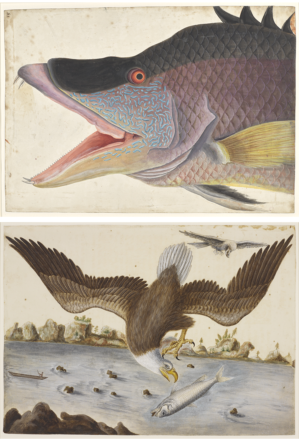 Top: The Great Hog-Fish, by Mark Catesby, c. 1725. Bottom: The Bald Eagle and the Fishing Hawk, by Mark Catesby, c. 1726. Royal Collection Trust / © Her Majesty Queen Elizabeth II 2021.