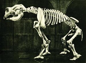 A giant wombat skeleton