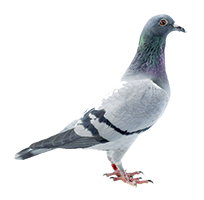 A gray pigeon in profile