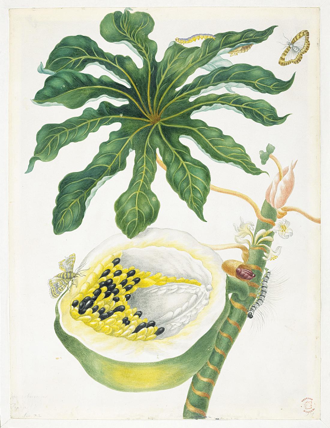 Papaya Bearing Fruit, by Maria Sybille Merian (1647–1717). © 2005, Linda Hall Library of Science, Engineering and Technology, Kansas City, Missouri.