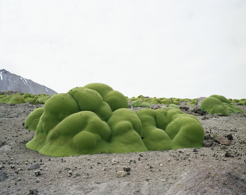 Color photograph of a green shrub that is one of the oldest living things in the world.