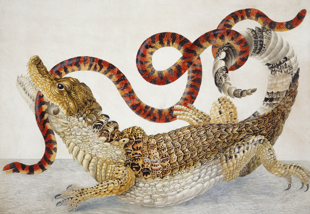 Suriname caiman fighting a South American false coral snake, illustration attributed to Dorothea Graff, 1705.