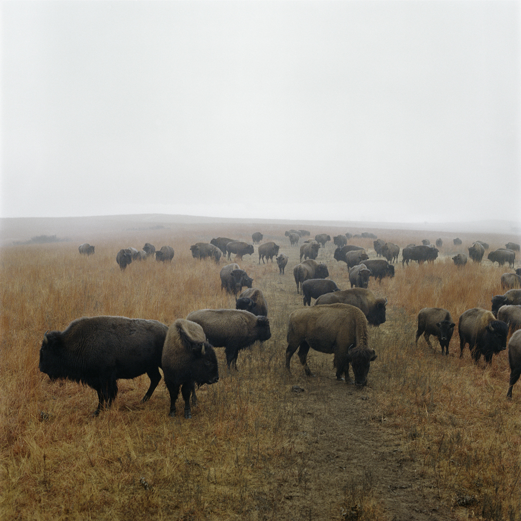 Color photograph of bison in fog.