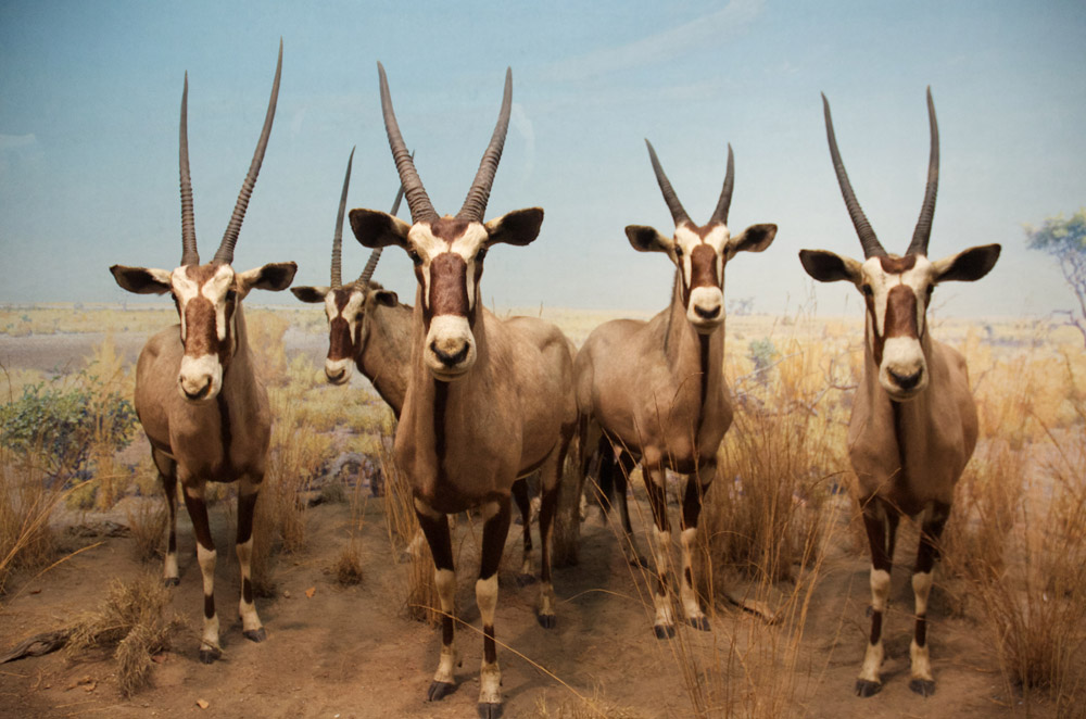 """Gemsbok Group,"" 2012. Photograph by Jason David Brown."