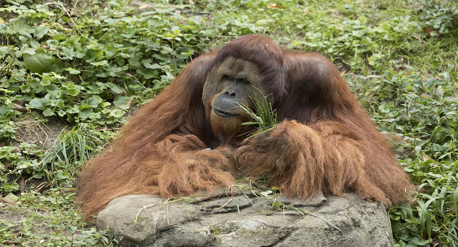 A huge, hairy, seemingly contemplative orangutan at the Cincinnati Zoo.