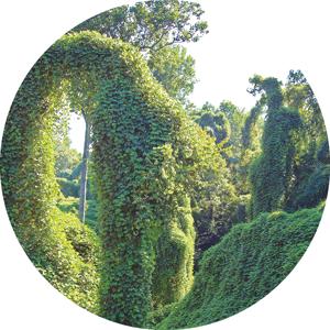 A kudzu plant.