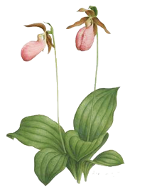 lady's slipper orchid.