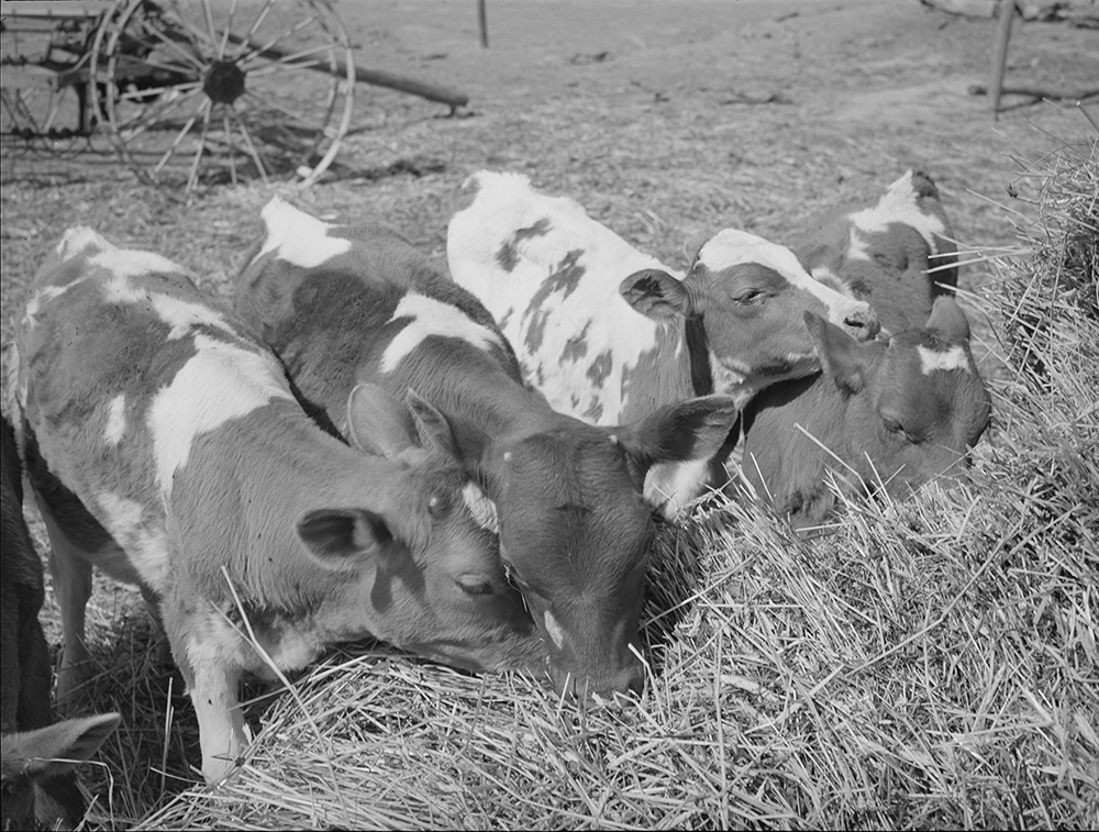 Calves belonging to Mr. White, Farm Security Administration rehabilitation borrower at Dead Ox Flat, Vale-Owyhee irrigation project, Malheur County, Oregon, 1941. Photograph by Russell Lee. Library of Congress, Farm Security Administration–Office of War Information Photograph Collection.