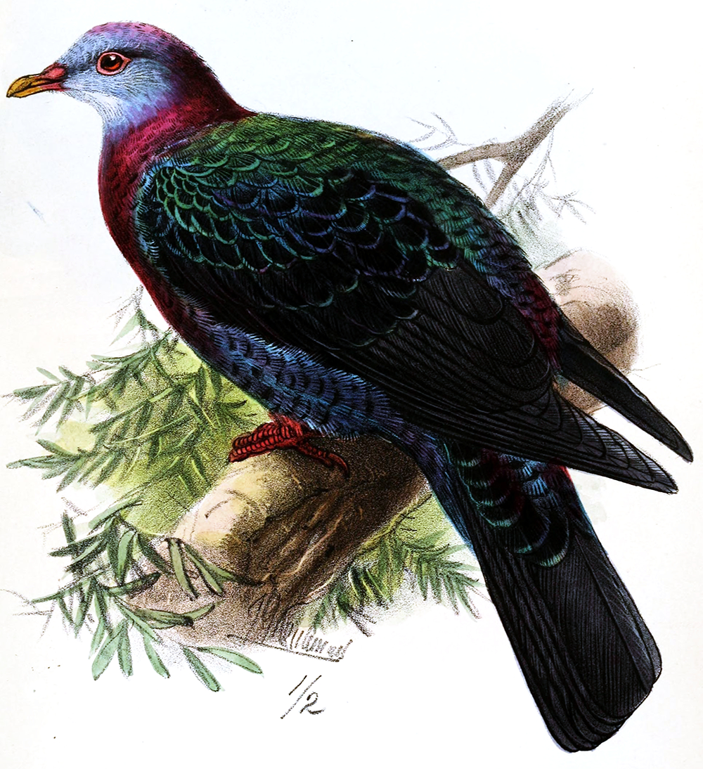 """Tameness kills: the metallic pigeon is broadly distributed in eastern Indonesia, New Guinea, and elsewhere in the South Pacific. Columba vitiensis griseogularis, seen here, is a living subspecies native to the Philippines. It is closely related to the similarly colored Lord Howe pigeon (C. v. godmanae), which disappeared in the 1850s due to excessive persecution. Illustration by J.G. Keulemans, from """"On Birds Recently Observed or Obtained in the Island of Negros, Philippines,"""" by Arthur, Viscount Walden, and Edgar Leopold Layard, in The Ibis, April 1872."""