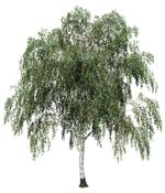 a paper birch tree.