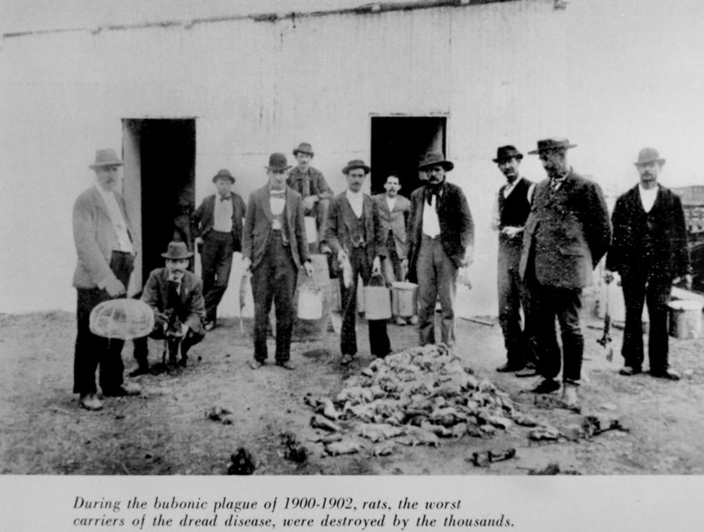 Destroyed rats during the bubonic plague in Brisbane, 1902. State Library of Queensland, Australia.