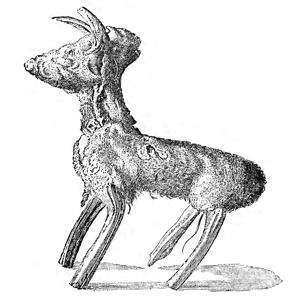 """""""Rough Model of a Tan-Colored Dog, Shaped by the Chinese from the Rhizome of a Fern, and Submitted to the Royal Society by Dr. Breyn as a Specimen of the 'Scythian Vegetable Lamb,'"""" from Philosophical Transactions, No. 390, 1725, reproduced in The Vegetable Lamb of Tartary, by Henry Lee, 1887. The Internet Archive, University of Toronto."""