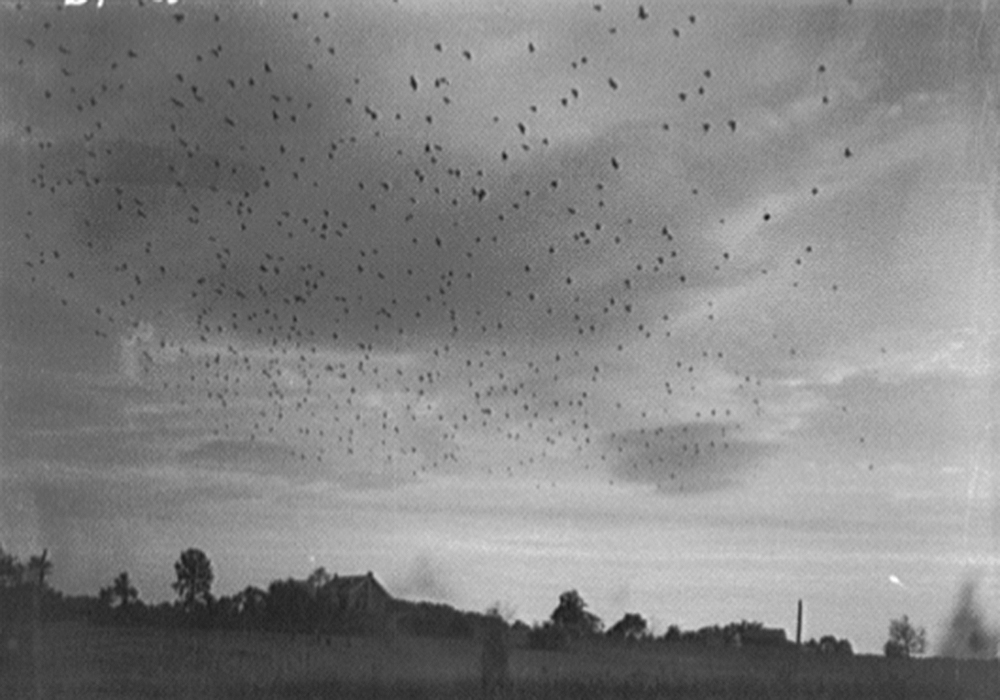 Starlings in flight,c. 1920. Photograph by Theodor Horydczak. Library of Congress, Prints and Photographs Division.