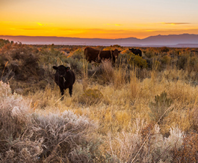 Photograph of cattle grazing at sunset on open public rangeland east of Steens Mountain in Malheur County, Oregon, 2017, by Greg Shine, Bureau of Land Management. Flickr (CC BY 2.0).