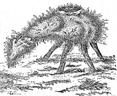 """""""The 'Borometz,' or 'Scythian Lamb,'"""" from Connubia Florum, by De La Croix, 1791, reproduced in The Vegetable Lamb of Tartary: A Curious Fable of the Cotton Plant, by Henry Lee, 1887. The Internet Archive, University of Toronto."""