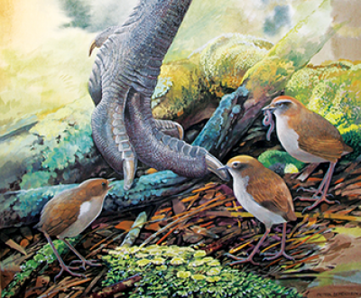 Native New Zealand wrens (Pachyplichas yaldwyni) and the foot of a moa (Dinornis novaezelandiae). Illustration by Peter Schouten.