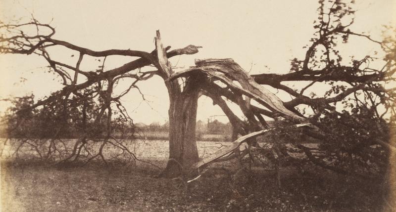 Oak Struck by Lightning, Badger, 1856.
