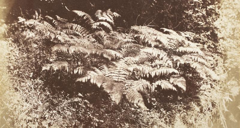 Ferns in a Glade, by J.D. Llewelyn, c. 1855. LACMA.