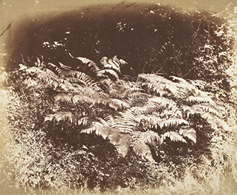 Ferns in a Glade, by J.D. Llewelyn, c. 1855. LACMA.