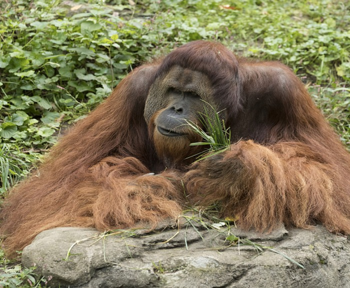 A huge, hairy, seemingly contemplative orangutan at the Cincinnati Zoo.