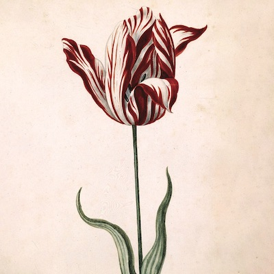 A red and white striped tulip.