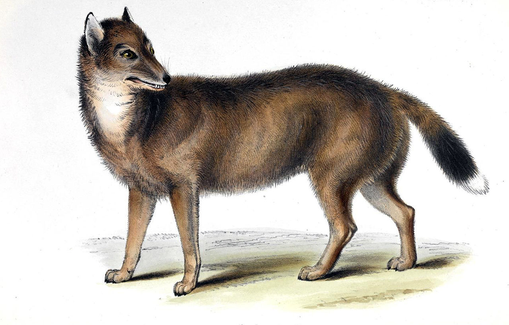 The warrah (Dusicyon australis), also called the Falkland Islands fox or wolf. It was neither of these, its closest relative being Chrysocyon brachyurus, the living South American maned wolf (also not a wolf). Charles Darwin, hearing about warrahs in 1834 during a visit to the islands, predicted that they would shortly go the way of the dodo. And so they did: 1876 was the last time a living animal was seen. Illustration from Mammalia, by George Waterhouse, part 2 of The Zoology of the Voyage of H.M.S. Beagle, ed. Charles Darwin (Smith Elder and Co., 1839).