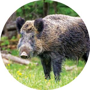 a wild boar.